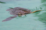 Sea turtle, Moorea