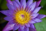 Purple water lily flower, Tahiti