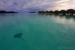 A ray swimming by the overwater bungalows, Bora Bora