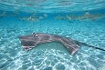 A ray and blacktip sharks, Bora Bora