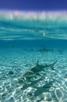 Blacktip sharks, Bora Bora