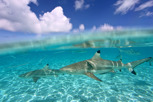 Blacktip sharks, Bora Bora