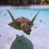 Sea turtle, Bora Bora