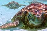Sea turtles at Bora Bora lagoon, Tahiti