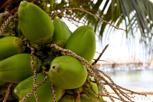 Coco nuts, Moorea
