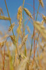 Grain fields outside Helsingborg