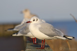 Mediterranean Gull during winter in Öresund, Copenhagen
