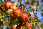 Red apples, Kivik