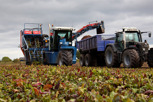 Beetroot harvesting, Kristianstad
