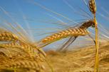 Grain fields, Österlen