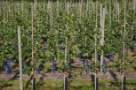 Apple orchard, Kivik
