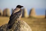 A crow at Ale's Stones, Österlen