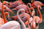 Flamingos at Jurong Bird Park