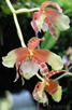 Orchid, National Orchid Garden