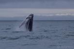 Humpback whale breaching, Húsavík