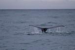 Humpback whale, Reykjavík