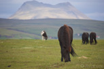 Icelandic horses grazing in front of Hekla