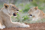 Femaie lions, Thanda Game Reserve