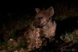 Hyena in the dark, Thanda Game Reserve