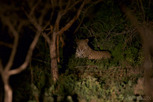 Leopard in the dark, Thanda Game Reserve