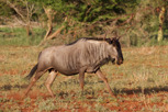Wildebeest on the run, Thanda Game Reserve