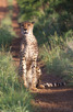 Cheetah, Thanda Game Reserve
