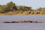 Hippos sleeping, iSimangaliso Wetland Park