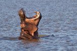 Hippo, iSimangaliso Wetland Park