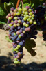 Bunch of grapes, Asara Wine Estate