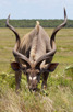 Kudu with its impressive horns, iSimangaliso Wetland Park