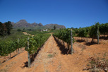Wineyards, Stellenbosch
