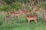 Impala herd, Thanda Game Reserve