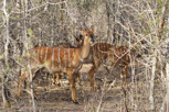 Nyala females, Kruger National Park