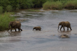 Elephants crossing the Sabi river, Kruger National Park