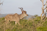 Kudu, Thanda Game Reserve