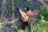 Black rhino, Thanda Game Reserve