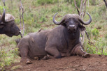 Buffalo, Thanda Game Reserve
