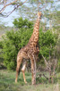 Giraffe, Thanda Game Reserve