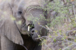 Elephant feeding, Kruger National Park