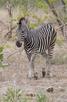 Zebra, Kruger Nkational Park