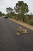 Lions resting on the paved roads inside Kruger National Park