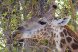 Giraffe feeding, Kruger National Park