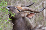 Nyala male feeding, Krüger National Park