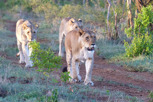Female lions, Thanda Game Reserve