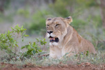 Lion, Thanda Game Reserve