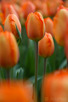Orange tulips, Keukenhof