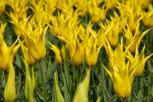 Yellow tulips, Keukenhof