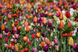 Tulips in all kind of colors, Keukenhof