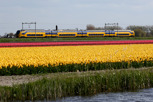 Regional train passes by the colorful tulip fields