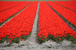 Red tulip field outside Amsterdam